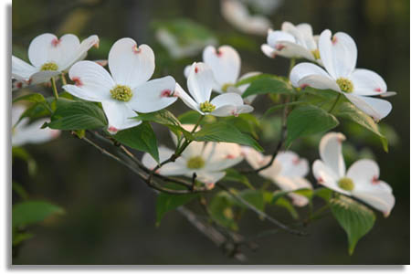 Southeastern Outdoors Flowering Dogwood Tree