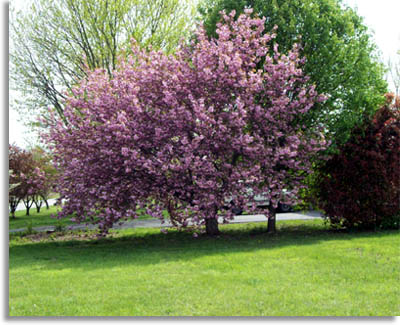 Southeastern outdoors flowering dogwood tree tree with pink flowers mightylinksfo