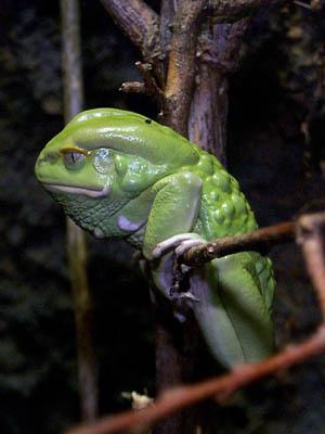 Southeastern Outdoors - Waxing Monkey Treefrog