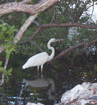 Great White Heron, Pennekamp Coral Reff S.P.