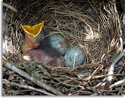 Southeastern Outdoors Mockingbird