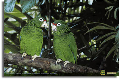 SEO - Puerto Rican Parrot
