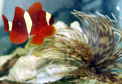 Southeastern outdoors clown fish for Clown fish scientific name