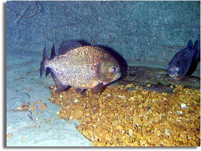 Red Belly Piranha Fish Tank Red Bellied Piranha