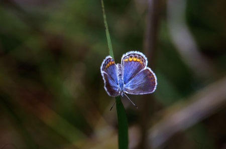 http://www.southeasternoutdoors.com/wildlife/insects/images/karner-blue-butterfly.jpg