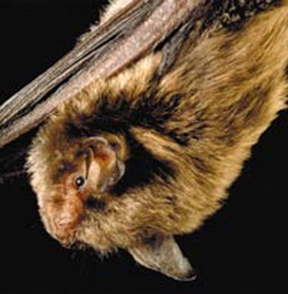 external image indiana-bat-usfw.jpg