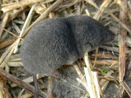 Southeastern Outdoors - Southern Short-tailed Shrew