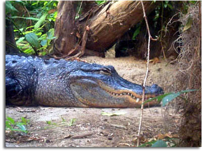 american-alligator.jpg