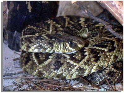 Southeastern Outdoors - Eastern Diamondback Rattlesnake