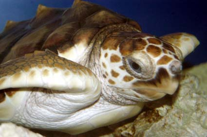 http://www.southeasternoutdoors.com/wildlife/reptiles/images/loggerhead-returned-florida.jpg