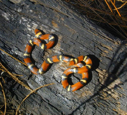 Southeastern Outdoors - Scarlet King Snake